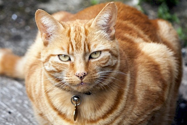 Cat Disease On The Rise
